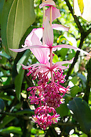 A beautiful bright pink flower known as rose grape (Latin: Medinilla magnifica, Origin: Philippines) along the boardwalk at Hawai'i Tropical Botanical Gardens, Big Island of Hawaii'i.