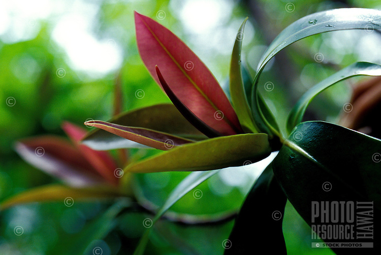 Kolea (Myrsine) plant, a native Hawaiian plant, Manoa Cliffs Trail, Honolulu