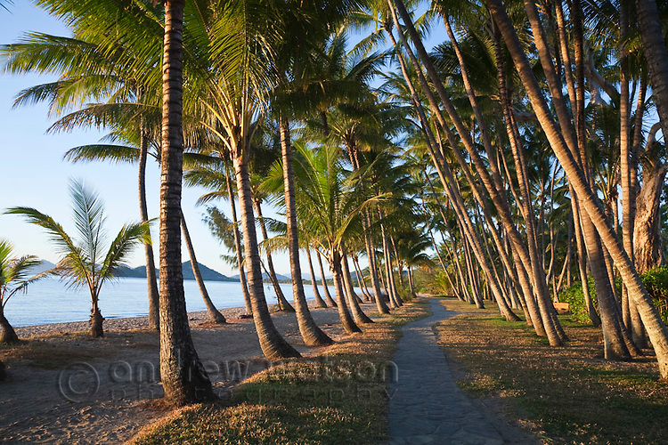 Coconut palms along beachfront at Palm Cove, Cairns, Queensland, Australia