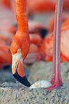 American Flamingo (Phoenicopterus ruber) standing over it's egg. Yucatan, Mexico.