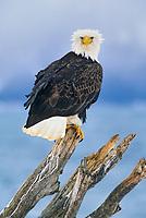 Bald eagle perched on driftwood along the shores of Kachemak bay, Homer, Alaska.