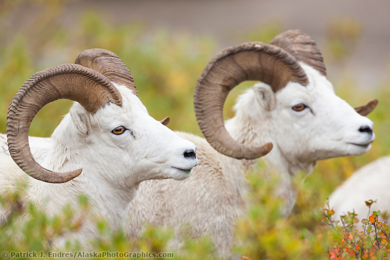 Portrait of two dall sheep rams near Polychrome pass in Denali National Park, Alaska.