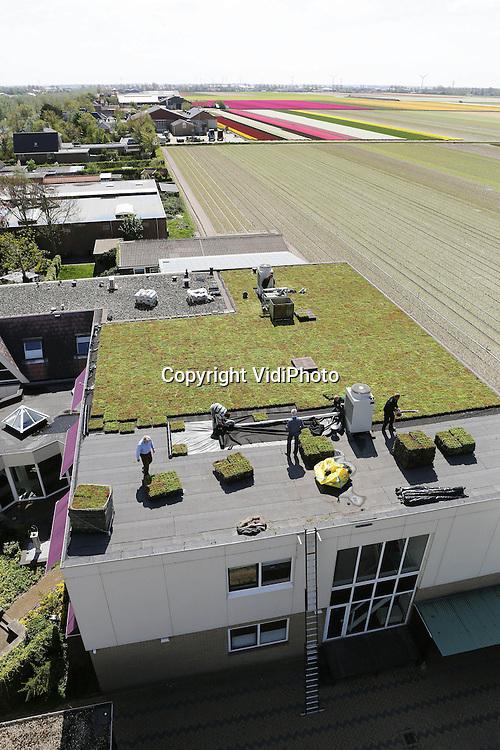 Foto: VidiPhoto..BREEZAND - Dankzij een groen dak, kunnen de medewerkers van accountants- en belastingsadvieskantoor Koopman & Co uit Breezand in Noord-Holland ook zomers doorwerken. Donderdag werden de laatste groene 'zoden' geplaatst. Een telekraan tilde circa 1.400 Mobiroof sedumcassettes het dak op. Het platte dak van 400 vierkante is voorzien van een bitumen dakbedekking. Daardoor kan tijdens de zomermaanden de temperatuur op de bovenste verdieping oplopen tot dertig graden Celsius. De twintig werkplekken op die verdieping zijn nauwelijks koeler te krijgen doordat het airco-systeem te warme lucht aanzuigt. Het sedumdak van Mobiroof biedt een oplossing omdat de temperatuur op de bovenste verdieping tijdens zomerse dagen aanzienlijk lager gaat uitkomen. Ook de energie- en verwarmingskosten komen nu een stuk lager te liggen.