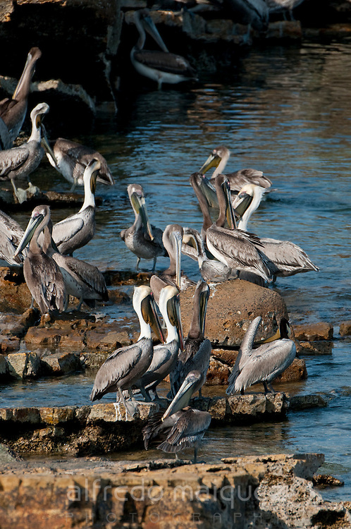 Crowd of Brown Pelicans (Pelecanus occidentalis carolinensis) gathered on rocks at Pacheca Island shore. Las Perlas Archipelago, Panama province, Panama, Central America.
