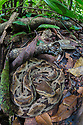Fer-de-lance {Bothrops asper} camouflaged on the rainforest floor. Corcovado National Park, Osa Peninsula, Costa Rica, May.