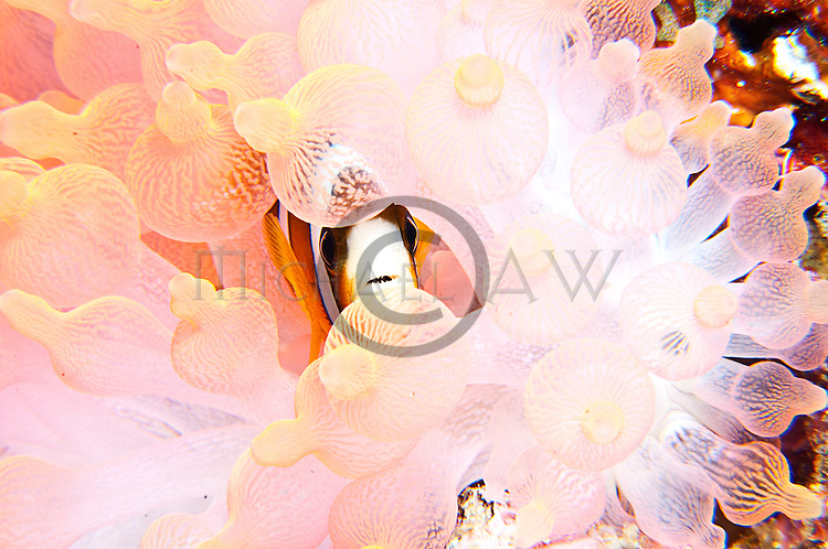 East Indonesia, Raja Ampat,  Amphiprion Clarkii living in white anemone