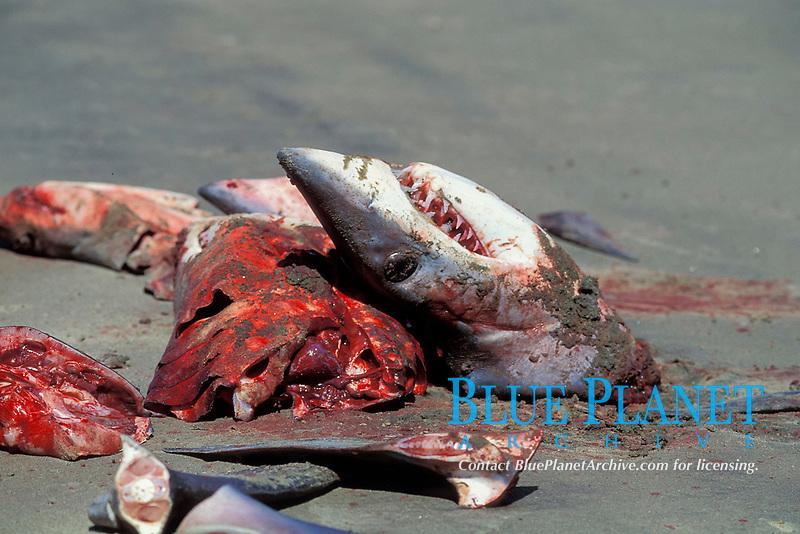 freshly butchered shortfin mako sharks, Isurus oxyrinchus, Mexican shark fishery, Isla Magdalena, Baja, Mexico, Pacific Ocean