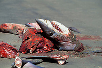 freshly butchered shortfin mako sharks, Isurus oxyrinchus, Mexican shark fishery, Isla Magdalena, Baja, Mexico, Pacific Ocean