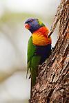 Rainbow Lorikeet (Trichoglossus haematodus), Pebbly Beach, Murramarang National Park, New South Wales, Australia