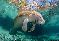 Florida manatee, Trichechus manatus latirostris, a subspecies of West Indian manatee, Trichechus manatus, Three Sisters Springs, Crystal River National Wildlife Refuge, Crystal River, Florida, USA