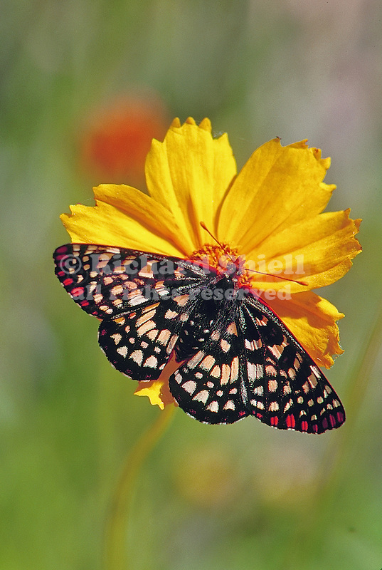 12843-HK Chalcedon or Common Checkerspot Butterfly, Euphydryas chalcedona, on Coreopsis flower, at Mourning Cloak Ranch, Tehachapi, CA USA, USA