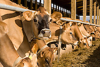 Jersey cows at a feed barrier feeding on silage. Total mixed ration. (TMR)...Copyright..John Eveson, Dinkling Green Farm, Whitewell, Clitheroe, Lancashire. BB7 3BN.01995 61280. 07973 482705.j.r.eveson@btinternet.com.www.johneveson.com