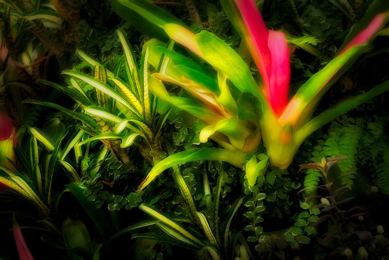 Bromeliad garden. Akatsuka Orchid Gardens. Hawaii, The Big Island
