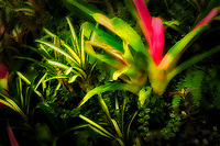 Bromeliad garden. Akatsuka Orchid Gardens. Hawaii, The Big Island