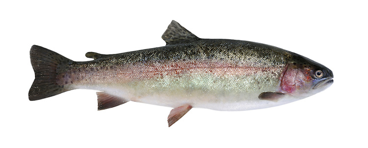 Rainbow Trout Salmo gairdneri Length 30-60cm <br /> The Rainbow Trout is a North American species that is widely introduced and farmed commercially in Britain. Adult has greenish upperparts separated from bluish underparts by a pink band along the flanks; the whole body is covered in small dark spots. Despite its alien status, the Rainbow Trout is now widespread and locally common in rivers, lakes and flooded gravel pits, its spread ensured by continual introductions.