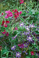 Clematis Arabella with sweet peas, two vines together, annuals and perennials flowers intertwined climbers