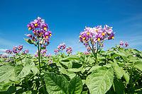 Maris Peer potatoes in flower - Norfolk, July