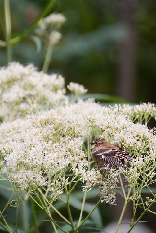Goldfinch juvenile bird eating Eupatorium purpureum 'Joe White' seeds in garden plant