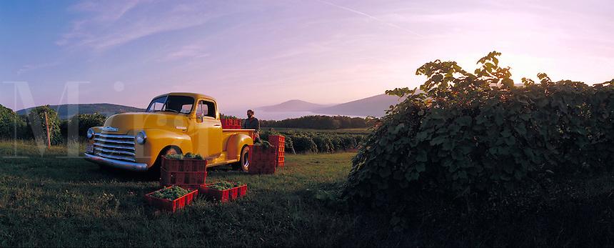 Wine harvest above Canandaigua Lake, grapes. Naples New York United States Canandaigua Lake vineyards.