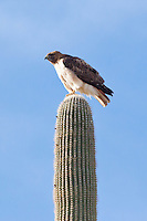 Red-Tailed Hawk, Arizona, USA