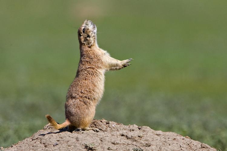 "Prairie dog giving the ""all clear"" signal"