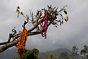 India - Sikkim - Flowers used in Buddhist ceremonies seen hanging on a tree in the village of Yuksom, the first capital of Sikkim.