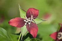 Nursery Web Spider; Pisaurina mira;  on Red Trillum, Trillium erectum; Fairmount Park, Wissahickon Creek; PA, Philadelphia,