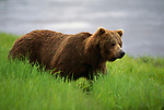 Grizzly bear standing on a bank in Alaska.