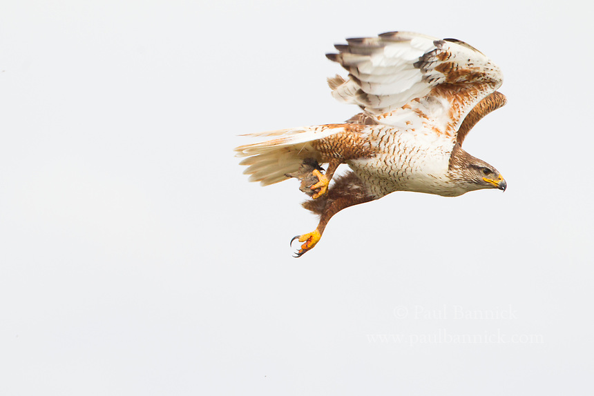 A Ferruginous Hawk brings prey to her waiting young.