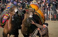 Selcuk, Turkey, 21/01/01..The traditional sport of camel wrestling is popular throughout western Turkey in the winter months; the largest event is the annual festival held in Selcuk on the third weekend of January. Two camels froth at the mouth and spit as they struggle with each other..
