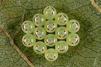Grüne Stinkwanze, Eigelege, Eier, Ei, Entwicklung der Larven, Nymphen im Ei ist durch die durchscheinenden Augen sichtbar, Palomena prasina, common green shield bug, stink bug, eggs, egg, Baumwanzen, Pentatomidae, stink bugs
