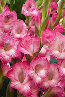 Gladiolus '512 Select' pink red, white throat