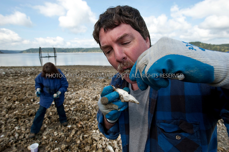4/25/2009--Union, WA, USA..Adam and Vicki Chilton, who live near the Hood Canal, gather and taste fresh oysters in the Twanoh State Park during a low tide. The Hood Canal is a glitteringly beautiful 60-mile long fjord and the western waterway of Puget Sound, located about an hour and a half outside Seattle. With the snow-clad Olympic Mountains as a backdrop and beaches bristling with oysters, clams, mussels, and crabs, it's ripe for a shellfish safari...©2009 Stuart Isett. All rights reserved.