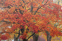 Sugar maple in autumn color, Washington