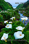 Tom Mackie, LANDSCAPES, LANDSCHAFTEN, PAISAJES, photos,+America, California, North America, Tom Mackie, USA, bloom, blooming, cala lilies, cala lily, green, nature, portrait, stream+, upright, vertical, white, wild flower, wildflower, wildflowers, yellow,America, California, North America, Tom Mackie, USA,+bloom, blooming, cala lilies, cala lily, green, nature, portrait, stream, upright, vertical, white, wild flower, wildflower,+wildflowers, yellow+,GBTM170273-1,#L#, EVERYDAY