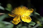 St. John's wort blooms in Carson City, Nev., on Tuesday, June 19, 2017. <br />