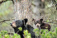 Black Bear with cub, Canada