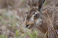 Feldhase, Feld-Hase, Hase, Portrait, Porträt, Lepus europaeus, hare, hares