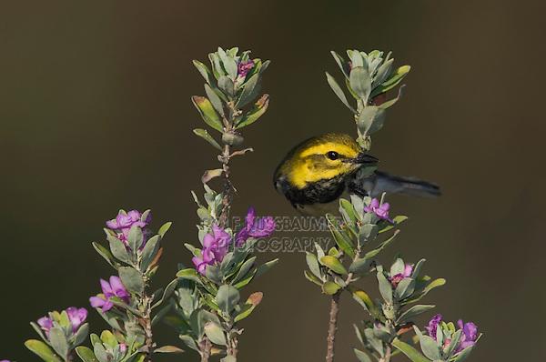 Black-throated Green Warbler, Dendroica virens, male on texas sage, Port Aransas, Texas, USA