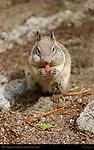 California Ground Squirrel with Full Cheeks Munching a Nut, Otospermophilus beecheyi, Mirror Lake, Yosemite National Park