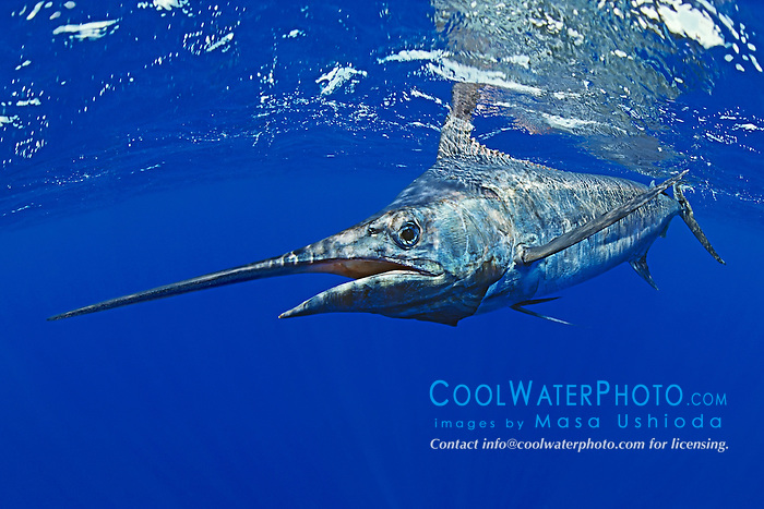 blue marlin, Makaira nigricans ( or Indo-Pacific blue marlin, Makaira mazara ), Kona Coast, Big Island, Hawaii, USA, Pacific Ocean