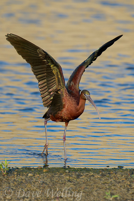550100024v a wild glossy ibis plegadis falcinellus in breeding plumage performs a wing stretch along the los angeles river in the sepulveda basin in los angeles county california approximately 1500 miles west of its normal range