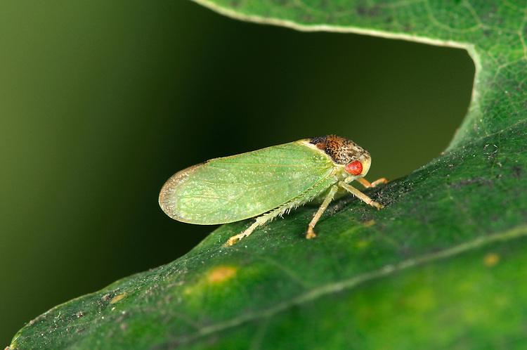 Iassus lanio