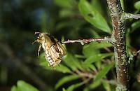 Neuntöter, Fraßspur, Rotrückenwürger, Würger, hat einen Käfer erbeutet und auf Dorne aufgespießt, Lanius collurio, red-backed shrike, Nahrungsvorrat