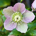 Hellebore (cultivar unknown), early April.