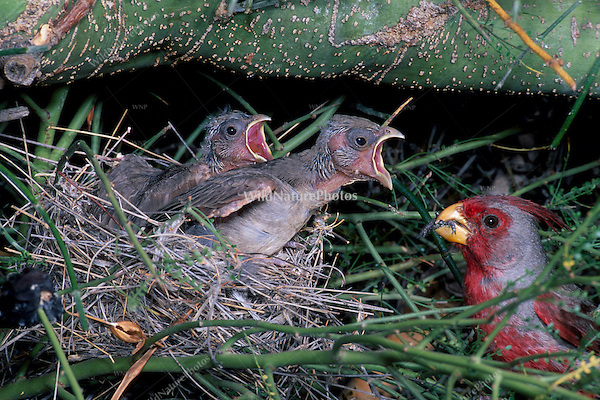 Pyrrhuloxia, Cardinalis sinuatus, male, feeding young