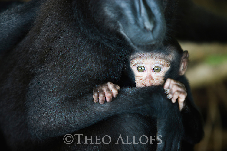 Crested black macaque mother holding baby, (Macaca nigra), Indonesia, Sulawesi; Endangered species, threatened through loss of habitat and bush meat trade, species only occurs on Sulawesi.