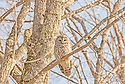 A rare sighting of a common bird, this Barred Owl studied me intently while I set up to take its picture.