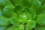 Aeonium arboreum, Cypress Garden, Mill Valley, California