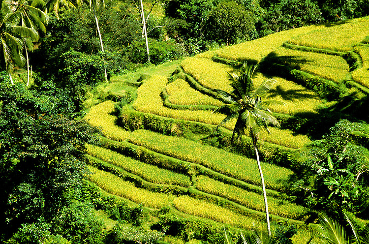 Indonesia: Bali: Rice paddy terraces, terraced rice field, newly planted rice, Ubud,  Photo: baliin102.Photo copyright Lee Foster, 510/549-2202, lee@fostertravel.com, www.fostertravel.com